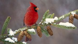 Cardinal on snow covered pine branch
