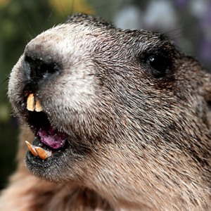 Snarling Groundhog