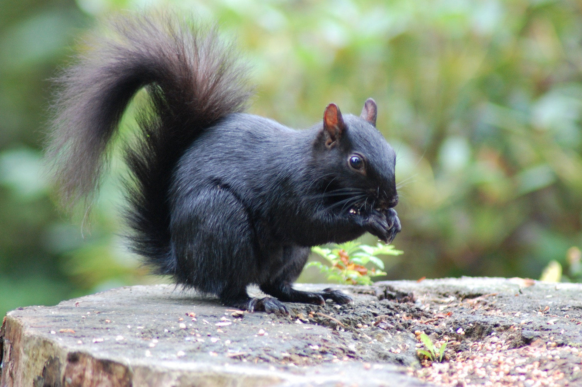 Thursday, June 24 at 7:00 pm: Black Squirrels: Kent's Most Famous Critter